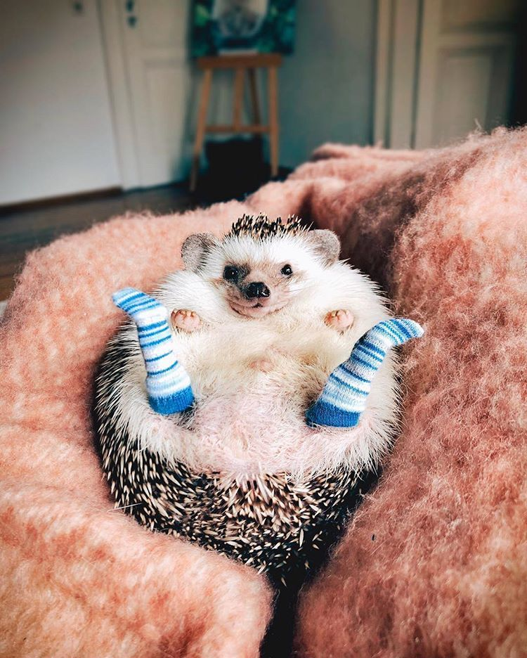Like My New Socks Hedgehog Socks Weeklyfluff Mood Cozy