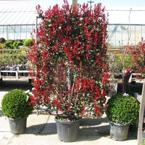 Photinia Fraseri Red Robin Robusta Compacta 100cm X 150cm Frame 30ltr Pot Backyard Landscaping Designs Growing Shrubs Backyard Landscaping