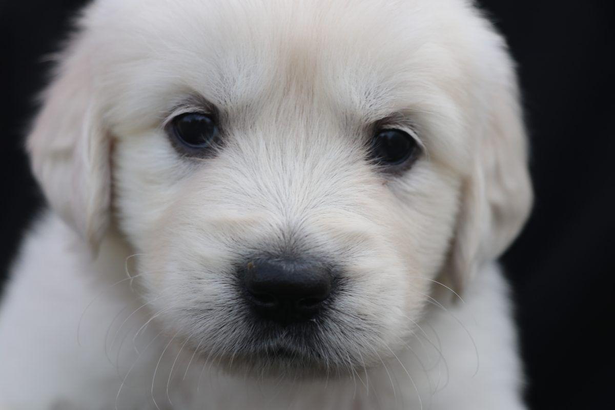 Rosie AKC Golden Retriever puppy (North Manchester