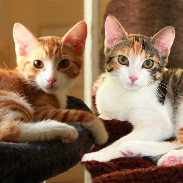 Adopt Brie Cheddar Kitten Pair On Petfinder Cat Adoption Kitten Help Homeless Pets