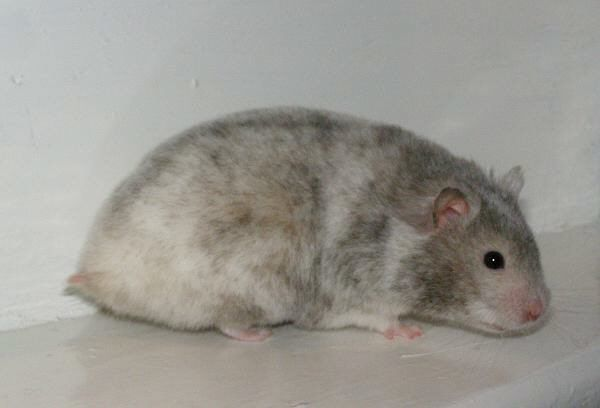 Tecknade Hamstrar Traden Hamster Hamstrar