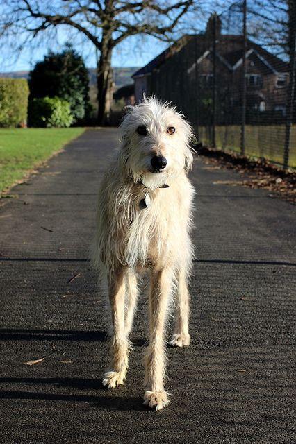 Rough Coated Deerhound Lurcher Puppies for Sale | Bury St