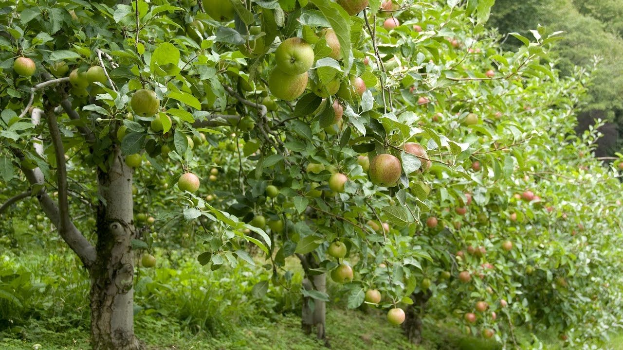 How to Grow Apple Trees Complete Growing Guide Pink