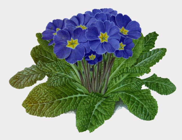 Blue Primrose . (Actually I love all the colors of ...