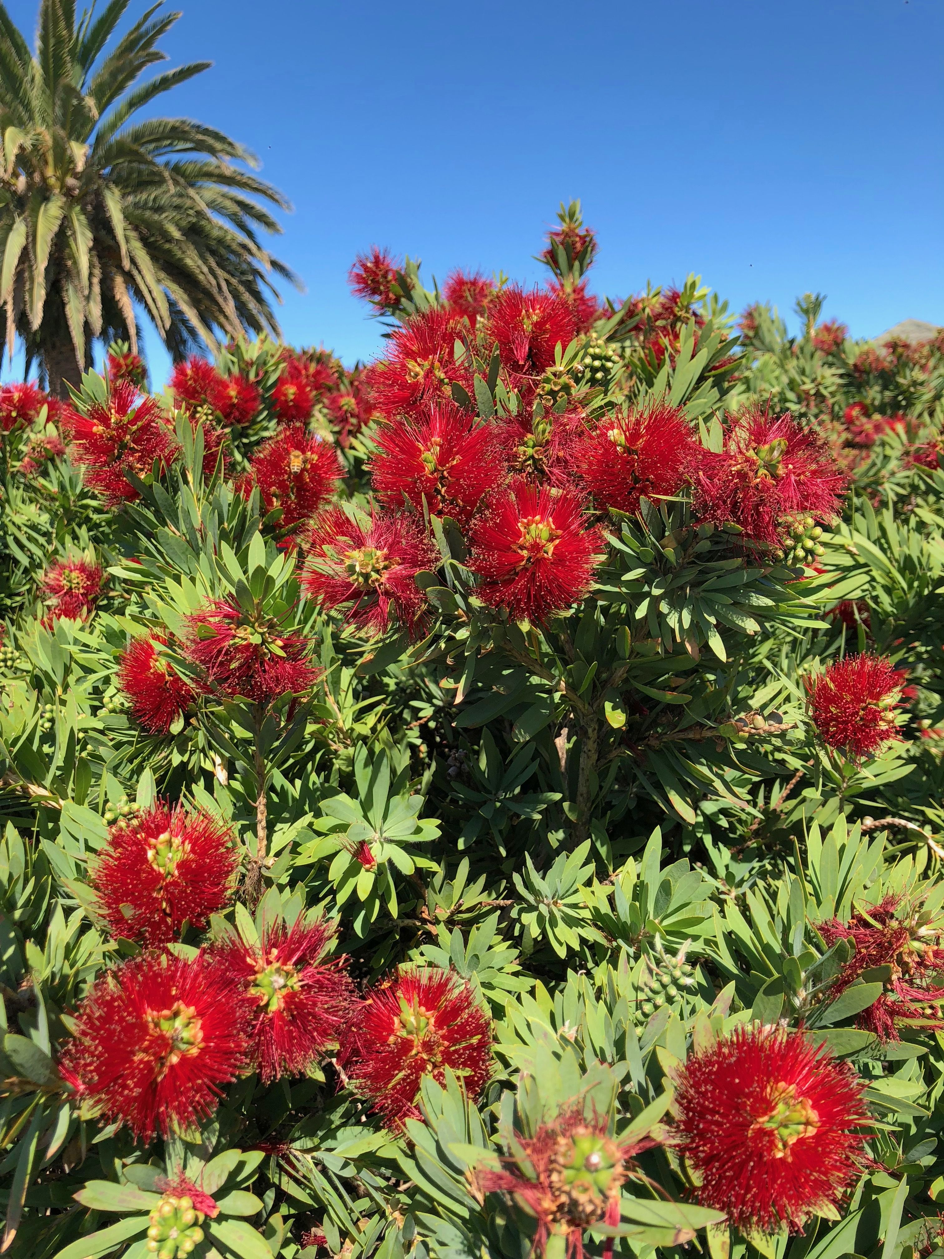 Callistemon Mt Maunganui NZ Australian native flowers