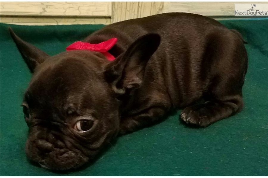 French Bulldog Puppy For Sale Near Houston Texas Af8ce9df E1c1 Bulldog Puppies For Sale French Bulldog For Sale Bulldog Puppies