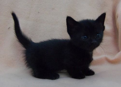 All Black Munchkin Cat Google Search Kittens Cutest Munchkin