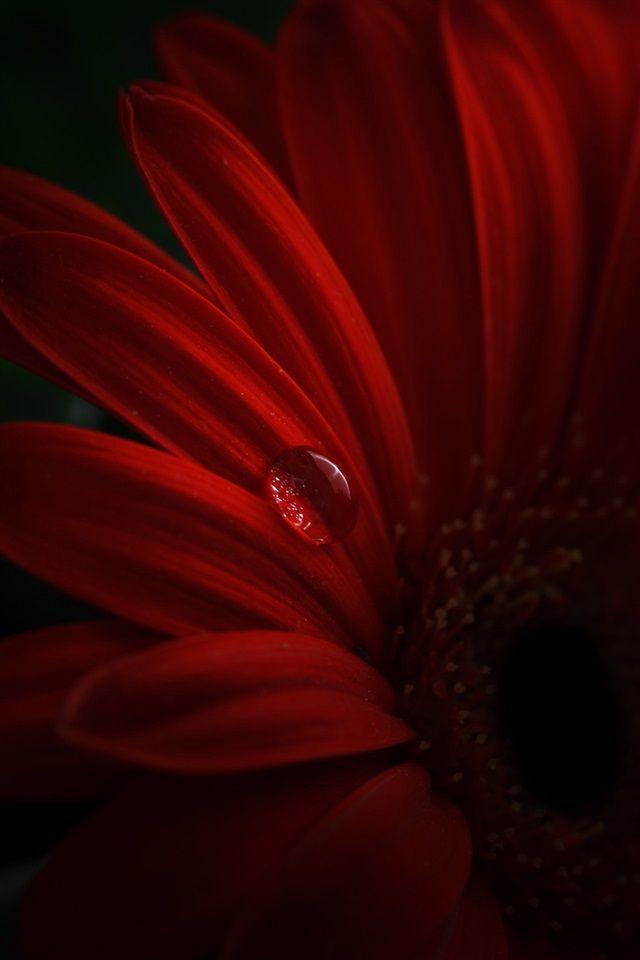 Red Gerbera Petals Water Drops Iphone Wallpaper 640x960 Iphone Red Flowers Flower Wallpaper Flower Painting