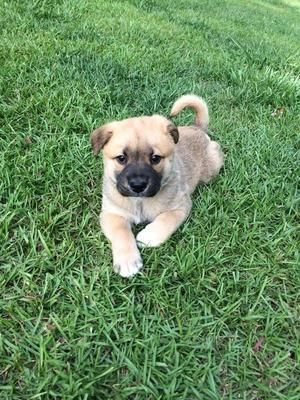 Pug Lab Mix Mac West Bend Pets Pug Lab Mix Dog List
