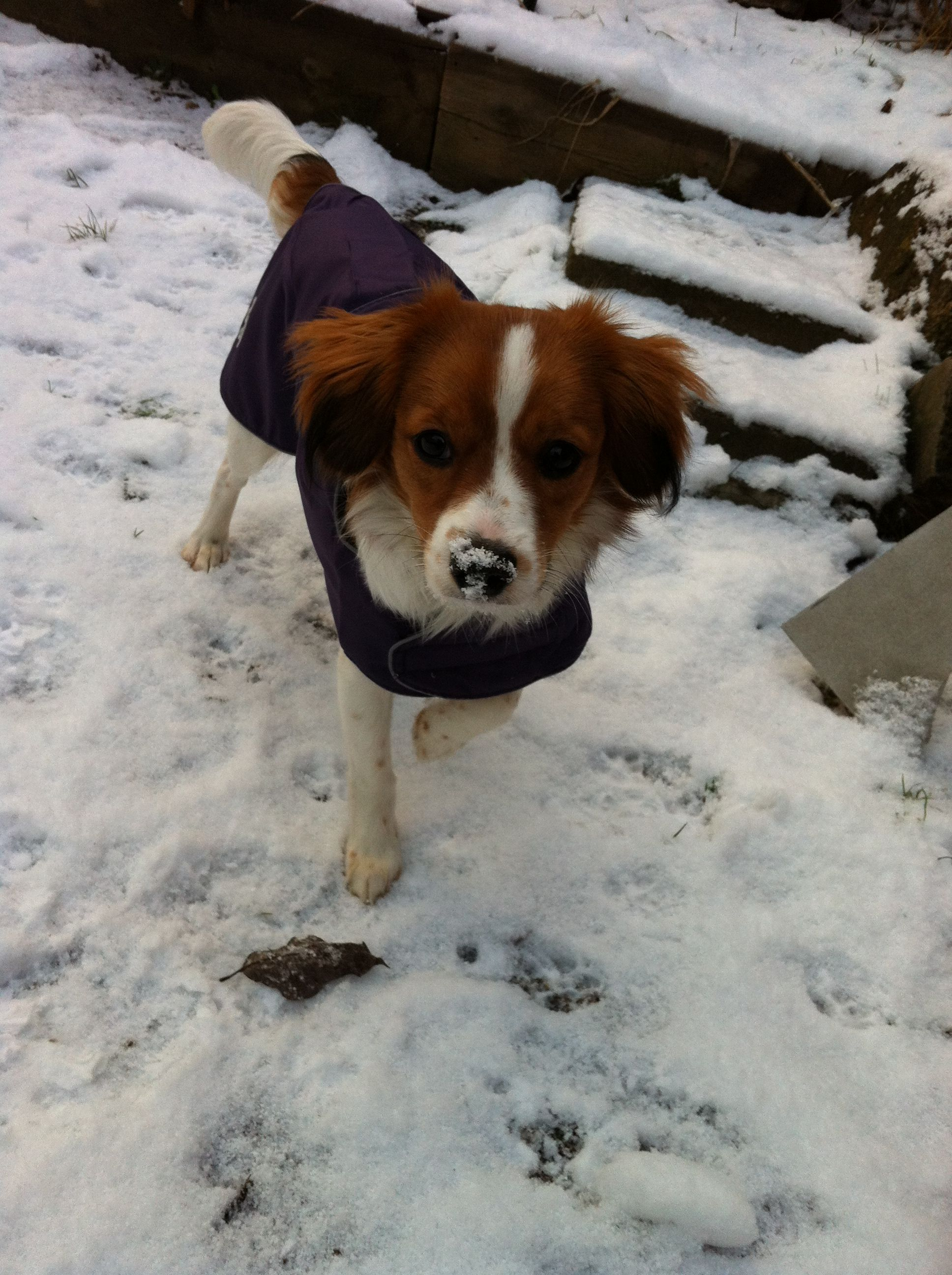 Kooikerhondje In Snow Nike 7 Months Jack Russell Teacup Pomeranian Corgi
