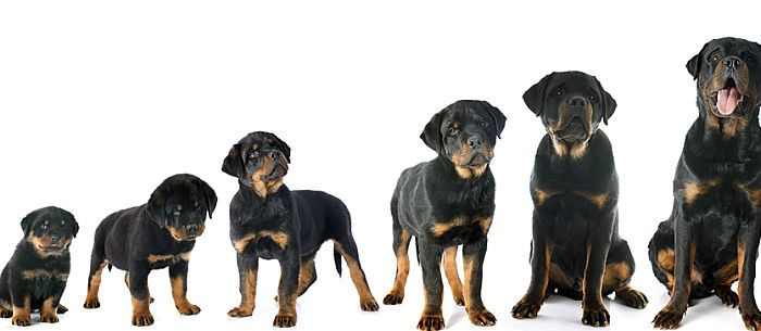 Rottweiler Puppy Growth Chart Puppy Growth Chart Rottweiler