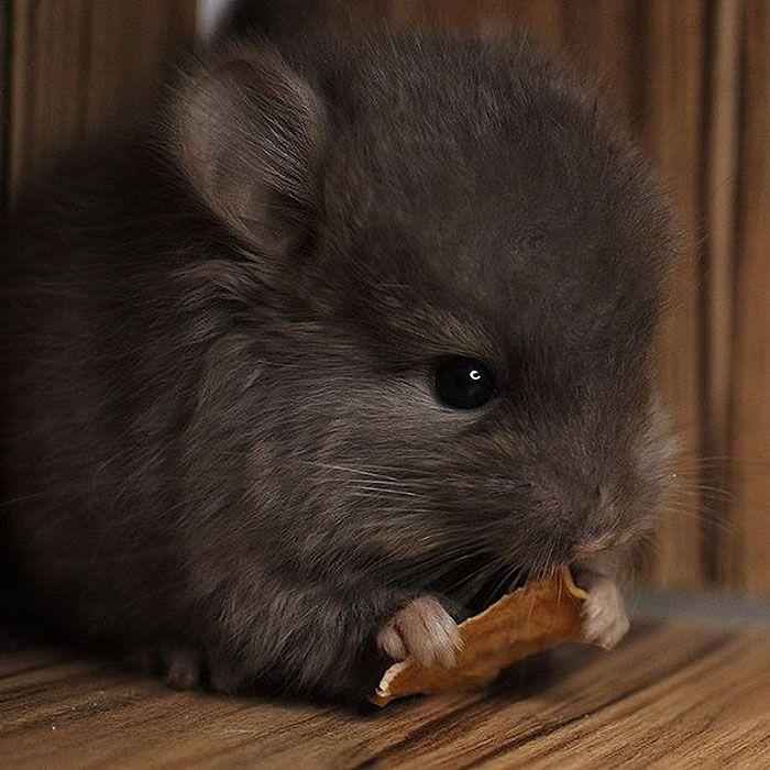 Baby Chinchilla Cute Baby Animals Cute Animals Animals