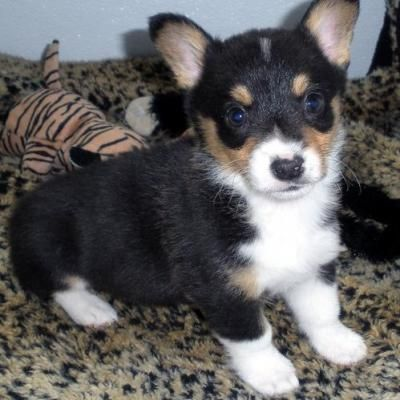 Pembroke Welsh Corgi Puppies For Sale Welsh Corgi Puppies