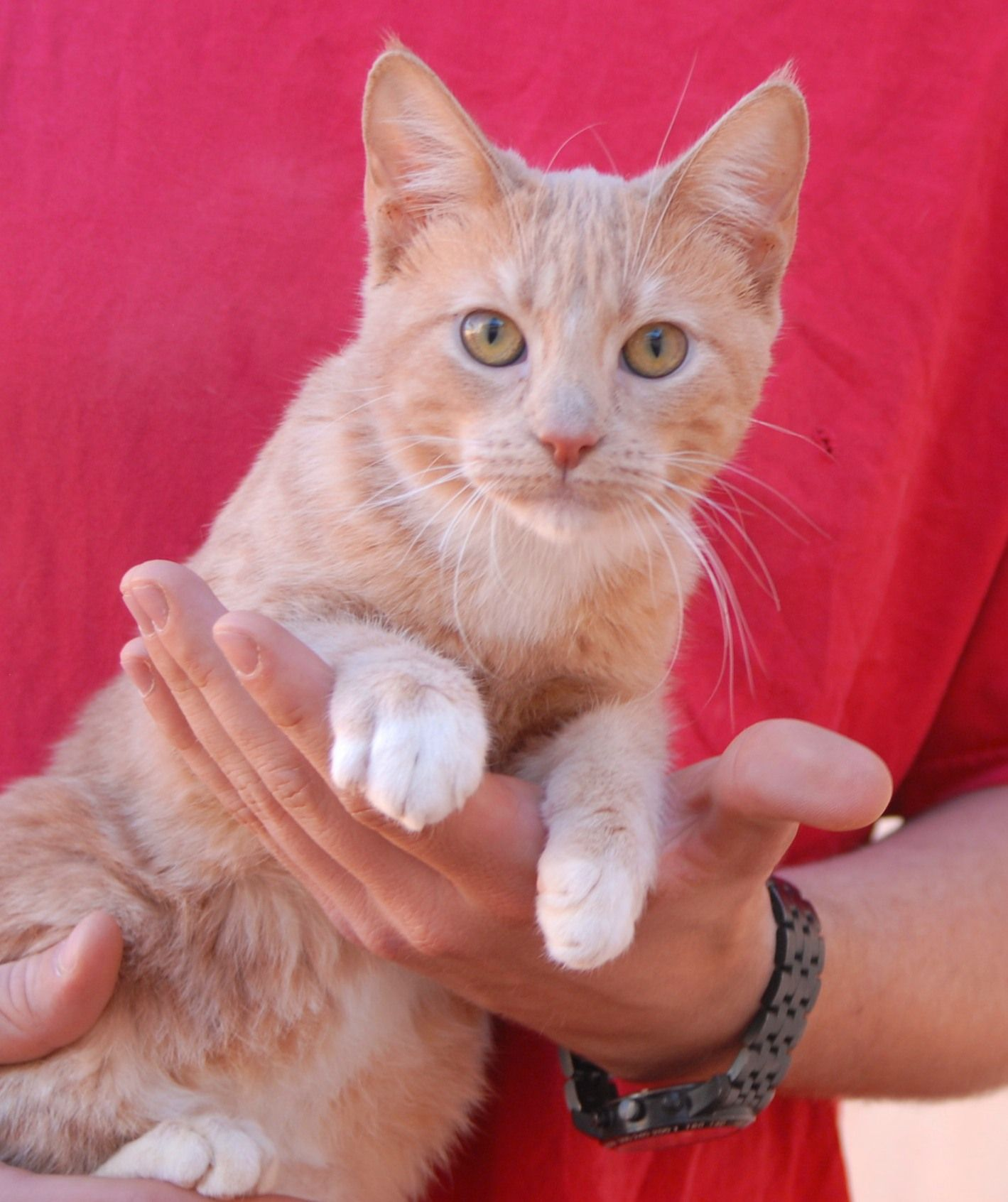 Shannon Is A Social Butterfly Both Exceptionally Affectionate And Playful And She S Very Eager To Join A Forever Home She Is A Jun Pet Adoption Cats Kitten