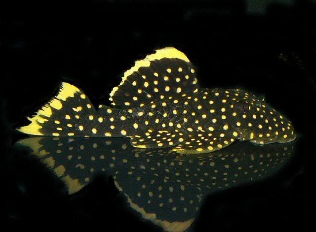Golden Nugget Pleco Freshwater Aquarium Freshwater Fish Cool Fish Fish