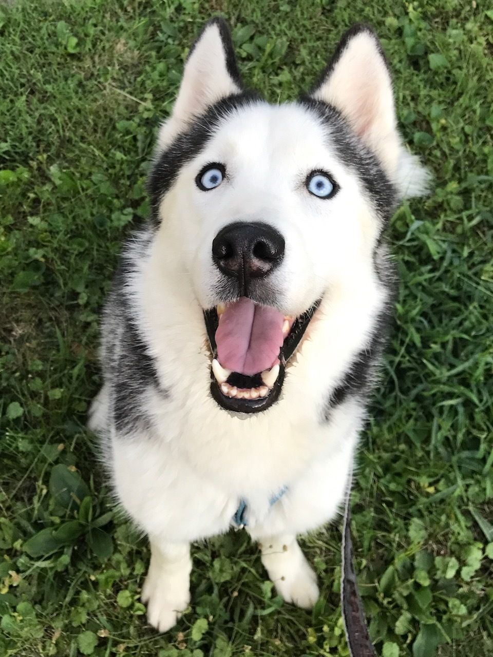 Adopt Avi On Siberian Husky Dog Adoption Husky