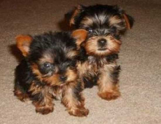 Adorable Male And Female Teacup Yorkie Puppies Yorkie Puppy Teacup Yorkie Puppy Yorkie Puppies For Adoption
