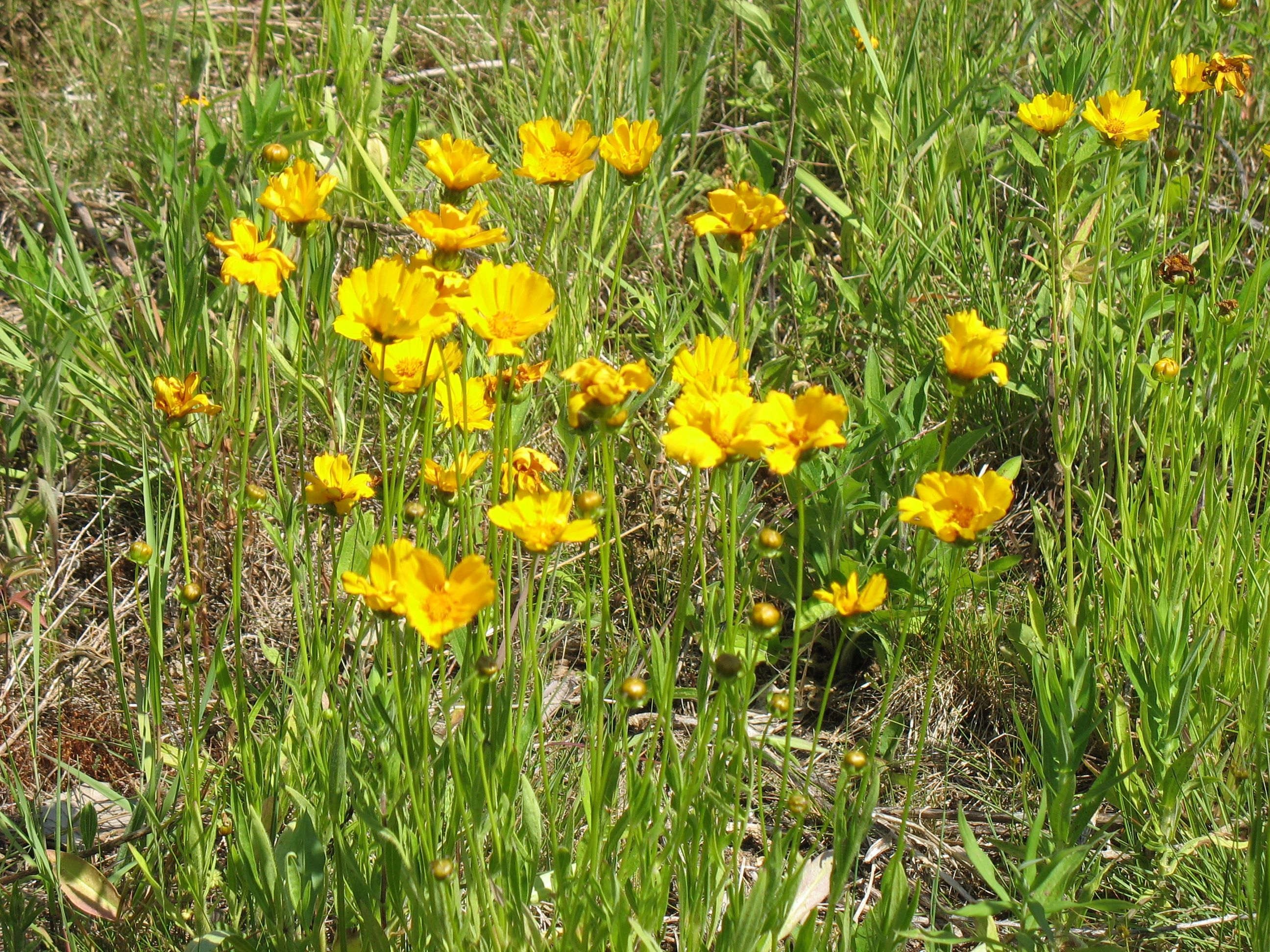 The Saline District Library Grounds Large Flowered Coreopsis Large Flowers Flowers Wild Flowers
