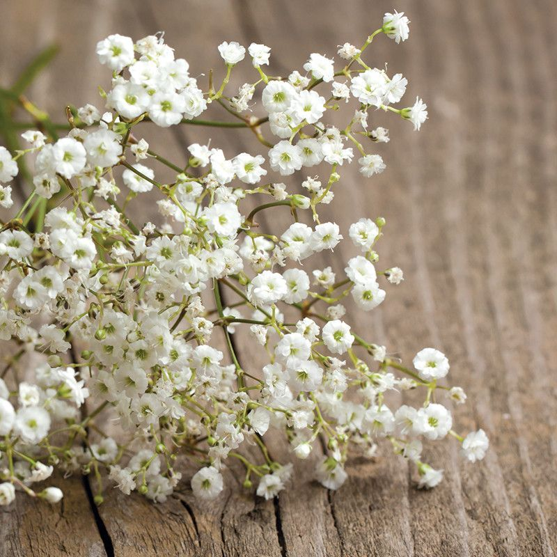 Baby's Breath Covent Garden Seed Wedding flowers