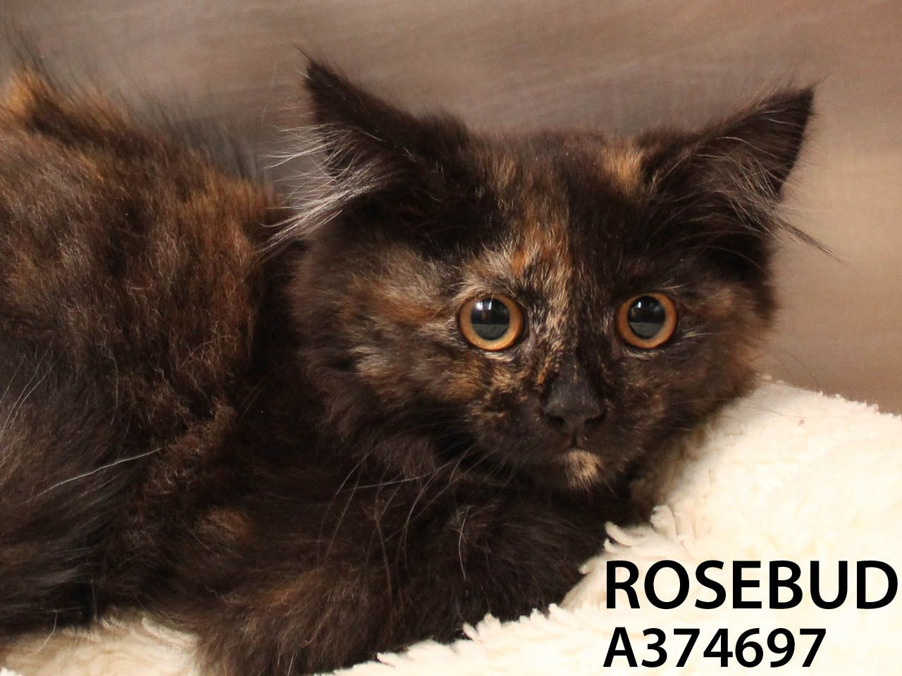 Rosebud is a delicate and beautiful little flower. This kitten came in as a stray and is still adjusting. She can be hissy and shrinks from touch at first -- but spend some time with her and you will find she warms up and she will surely blossom in a loving and steady home. Come meet this shy sweet beauty today!