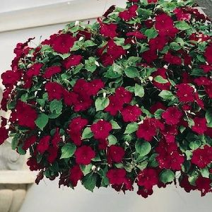 Gorgeous Hanging Basket Of Impatiens Annual Flowers