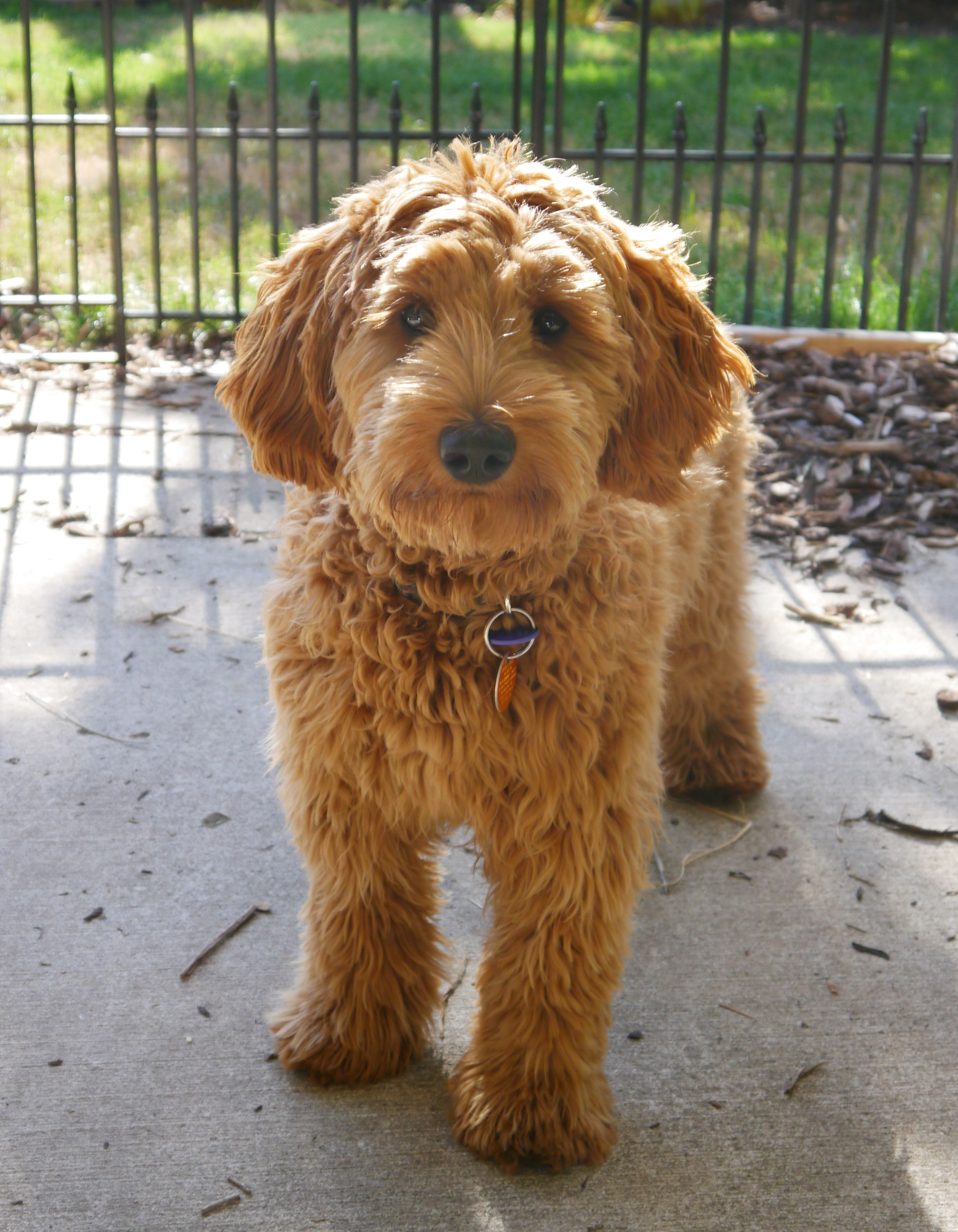 semi short haircut on a goldendoodle goldendoodles this is annie she comes back to visit us once in a while
