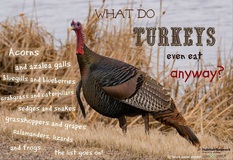 Wild Turkeys Eat An Incredible Variety Of Plants And Small Animals As They Hunt And Forage Like A Pack Of Dinosaurs Throu Wild Turkey Habitat Garden Small Pets