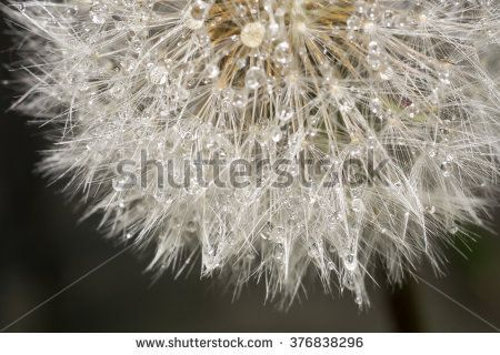 Close up photo of dandelion seeds with water drops.