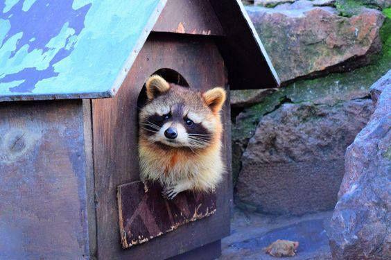 Sweet Raccoon in zoo by Ivana Rankovic