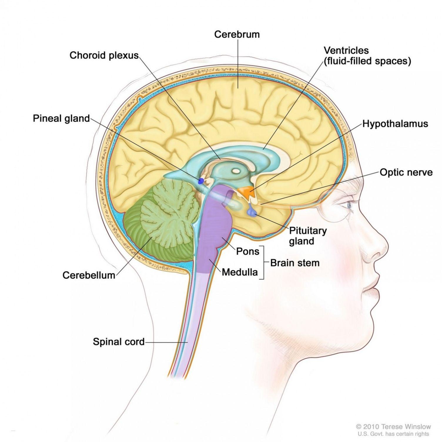 Labeled Diagram Of The Human Brain Human Anatomy Drawing Human