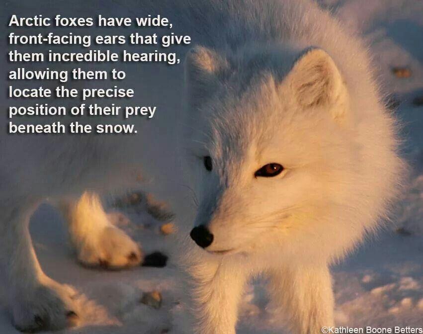 Artic fox | Wildlife | Spirit animal, Animals beautiful, Animals