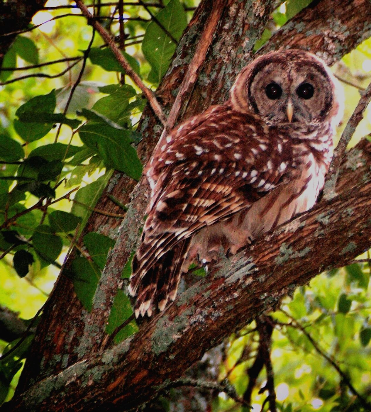 seriously cool looking barred owl (strix varia) | hoot hoot