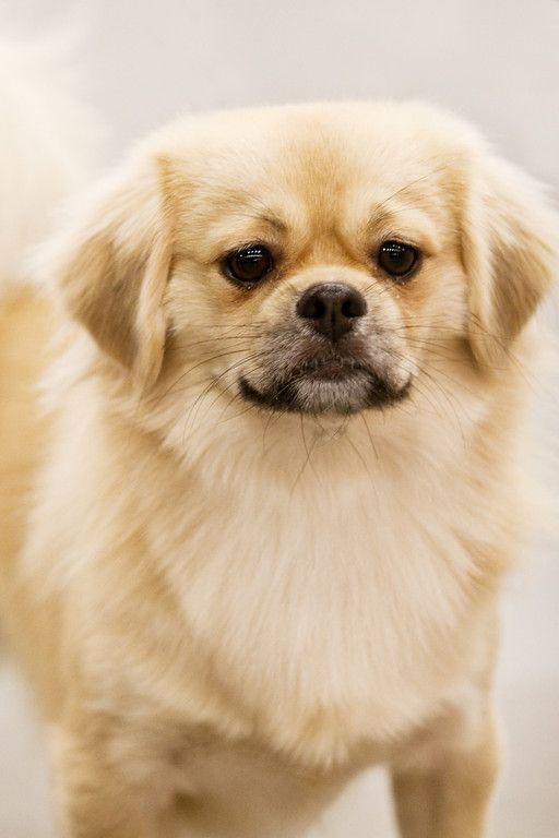Tibetan Spaniel Puppy aka a little puff ball Spaniel
