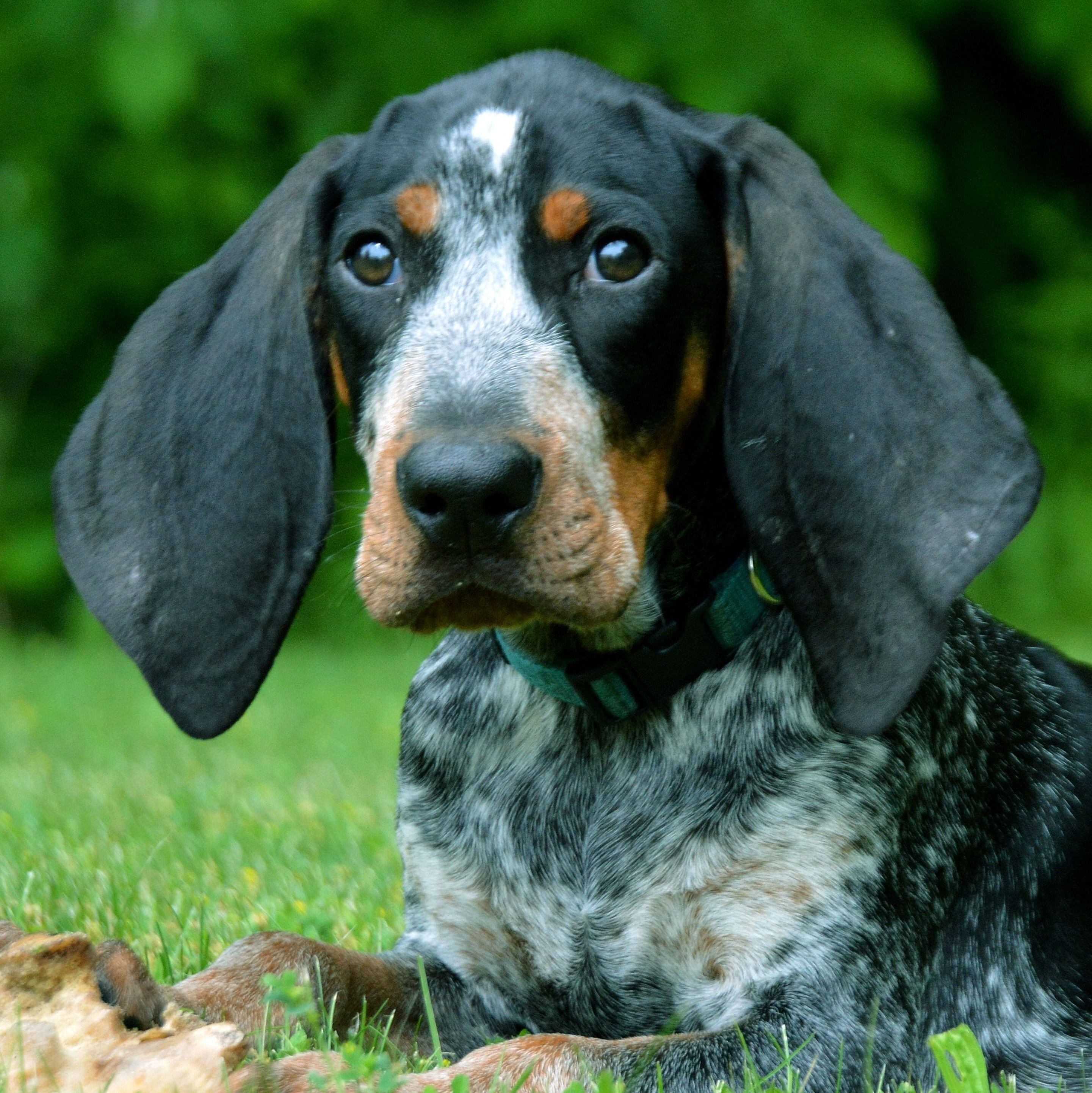 Pin On Hounds And Hunting Dogs Bluetick Coonhounds Bear Hunting