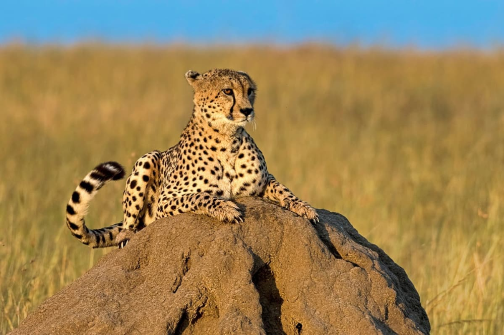 Cheetahs are brought to India Is it possible to bring
