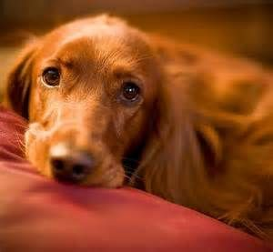 golden retriever irish setter mix - Bing Images