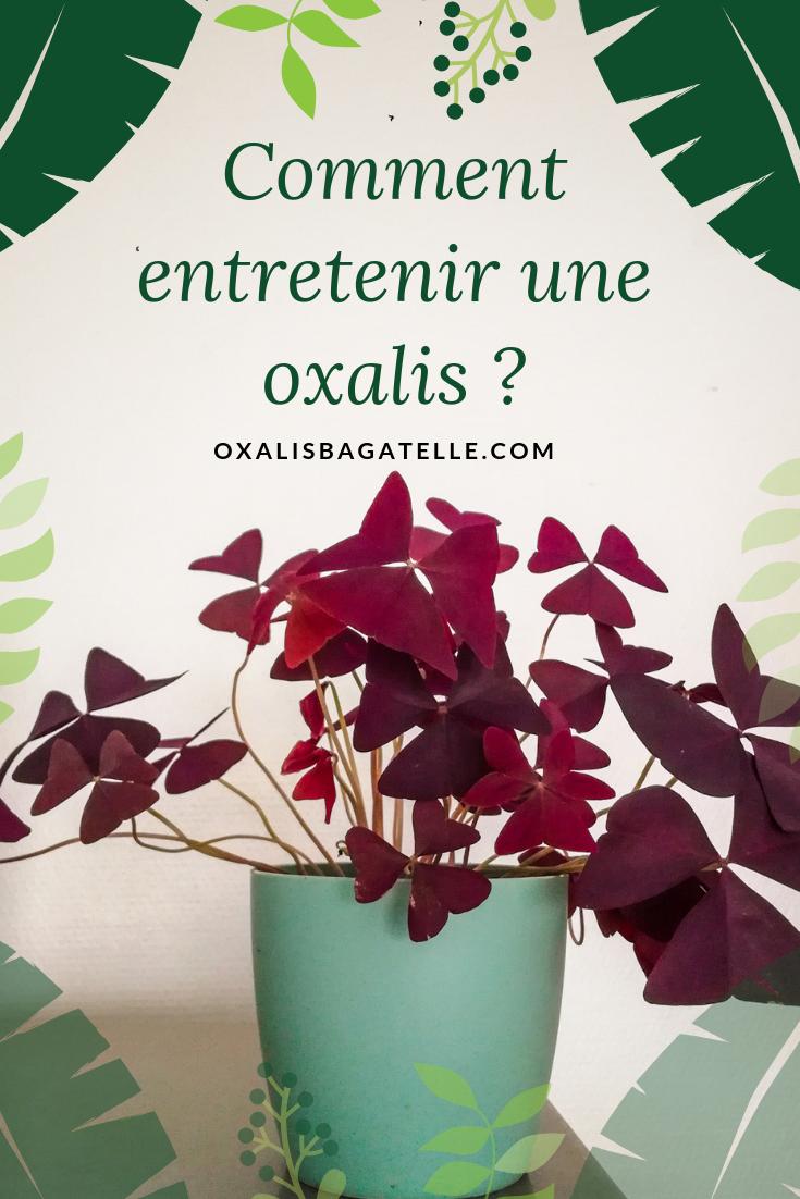 Comment entretenir une oxalis ?