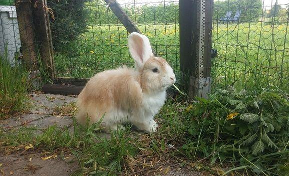Riesenkaninchen Riesenkaninchen Kaninchen Hase Kaninchen