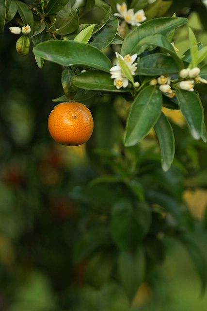 Orange tree with fruit & flowers by Helena Eriksson, via Flickr