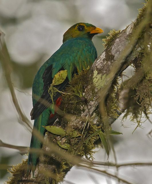Pharomachrus auriceps - Golden-headed Quetzal - Quetzal Cabecidorado - Quetzal Colinegro male 08 | Flickr - Photo Sharing!