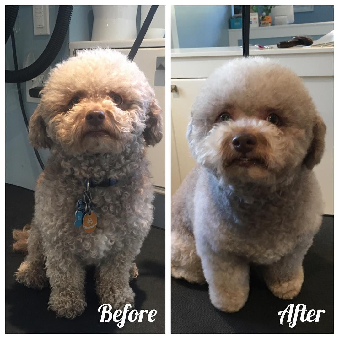 Otis The Bichonpoodle In For A Fluffy Tidy Up Cutenessoverload