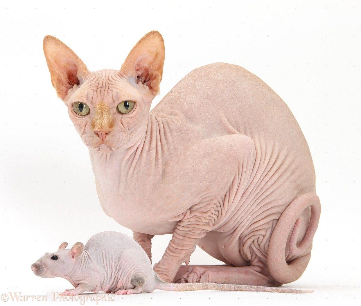 40153 Sphynx Cat And Sphynx Rat White Background Jpg 1 243 1 054 Pixels Cat Behavior Animals Pets