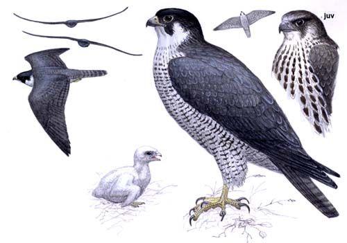 Peregrine Falcon Falco Peregrinus European Birds Online Guide