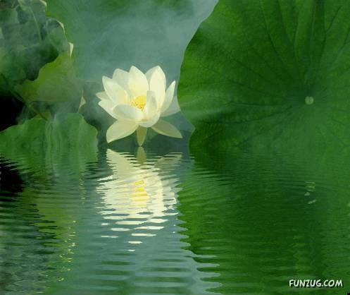 Peace of the lotus....