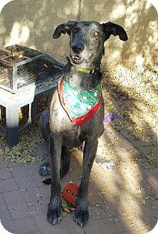 Mesa Az Great Dane Greyhound Mix Meet Sirius A Dog For