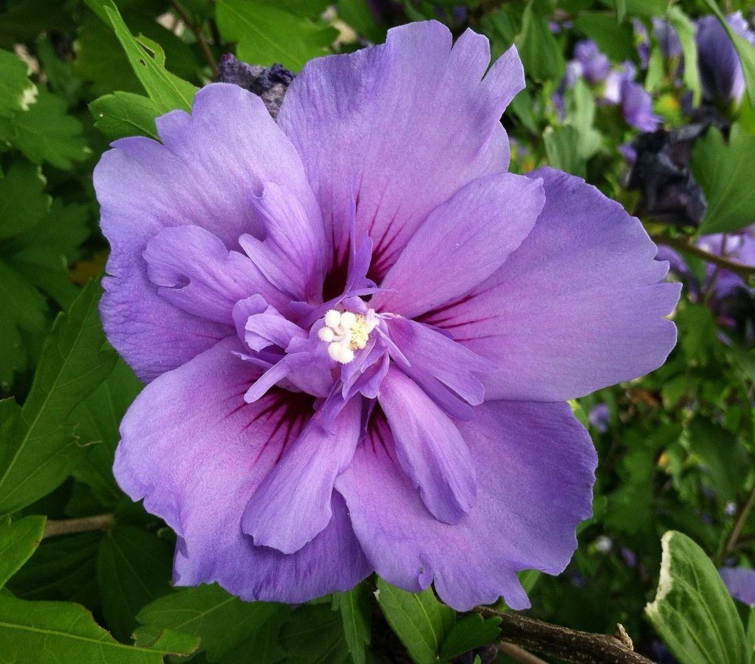 Hibiscus Syriacus Notwoodthree Blue Chiffon Rose Of Sharon At