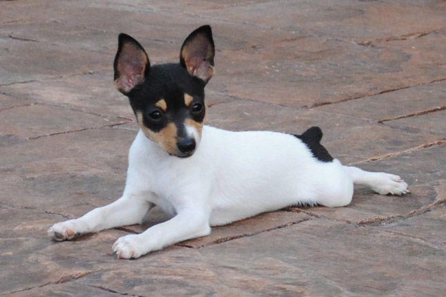Toy Fox Terrier Toy Fox Terrier Puppies Rat Terrier Dogs Rat