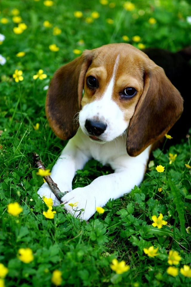 Little Puppy Do Cute Cute Beagles Beagle Puppy Pets