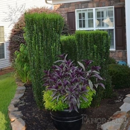 Ilex crenata 39 sky pencil 39 sky pencil japanese holly 15 for Cheap bushes for landscaping