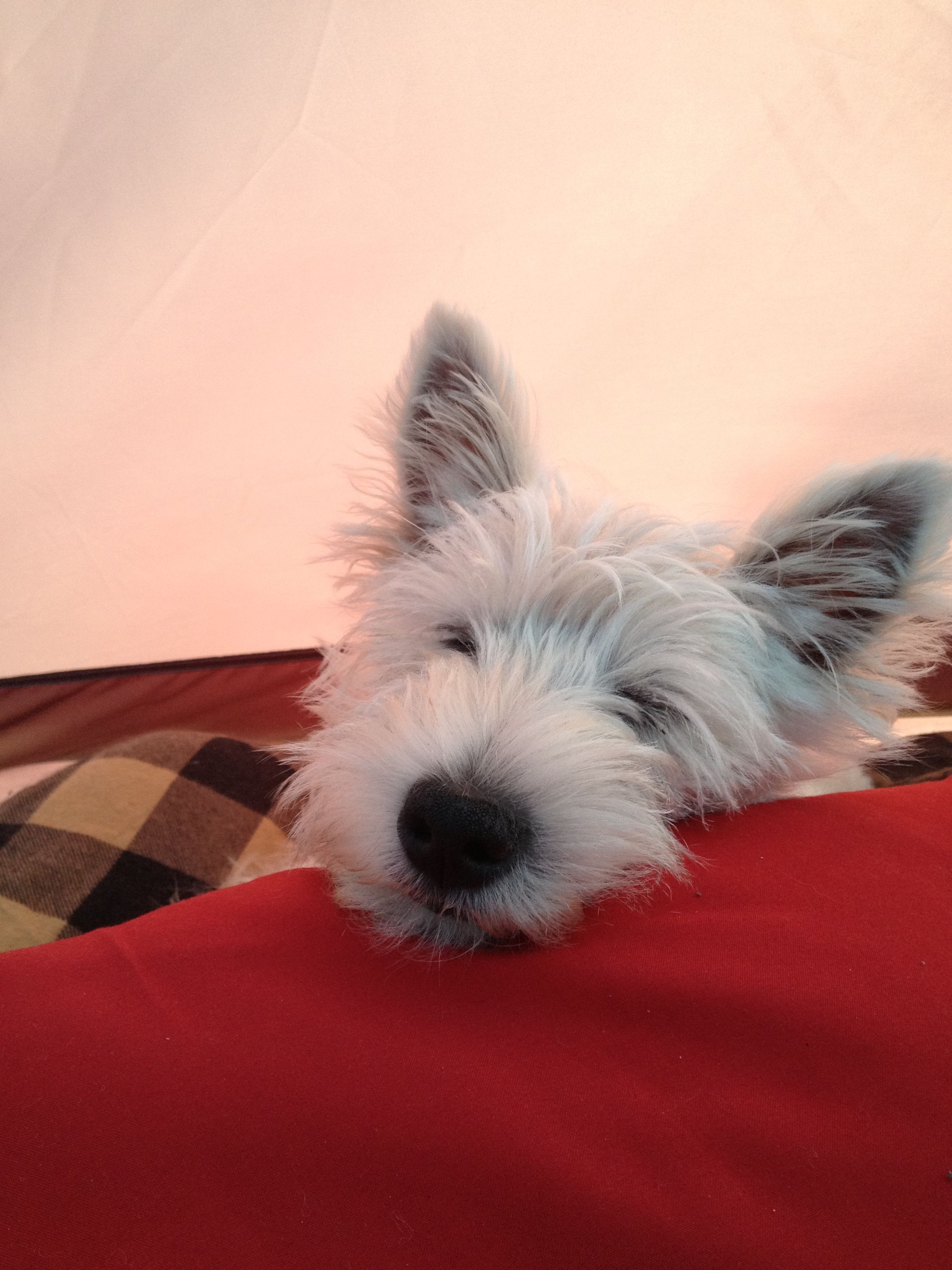 Zoey resting after busy day. Westie